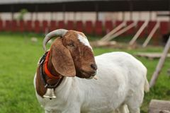 Anglo Nubian / Boer goat, looking to side, farm structure in background. stock images