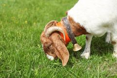 Anglo nubian / Boer goat male grazing on grass. Anglo nubian / Boer goat male grazing on grass royalty free stock image