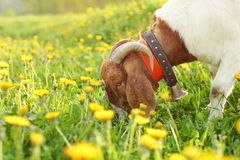 Anglo nubian / Boer goat male grazing on meadow full of dandelions lit by sun royalty free stock image