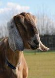 Anglo Nubian Goat Stock Image