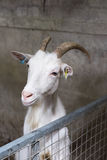 Anglo Nubian Goat Stock Images