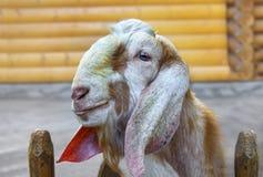Anglo Nubian goat. Nizhny Novgorod, Russia. Portrait of Anglo Nubian goat. Nizhny Novgorod, Russia Stock Photography