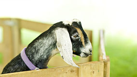 Anglo-Nubian Goat. A young nubian goat makes an appearance at a fall fair. A milking breed, the Nubian has distinct characteristics such as long pendulous ears royalty free stock photo