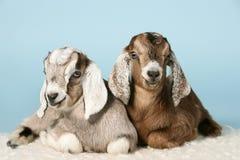 Anglo-nubian junge Ziegen auf Wollen Lizenzfreie Stockfotos