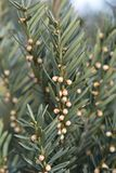 Anglojap Yew. Latin name - Taxus × media Hillii royalty free stock photography