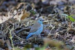 anglolensis蓝色博茨瓦纳uraeginthus waxbill 库存照片