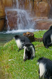 Angola Colobus. Several angola colobus foraging in grass with a waterfall in the background in slightly soft focus Stock Images