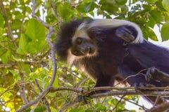 Angola-Colobus-Affe, unten schauend Stockfoto