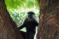 Angola Colobusapa som hänger på trädet i den Kenya Diani stranden fotografering för bildbyråer