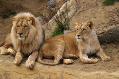 Angola-Löwe, Löwe und Löwin Stockfotos