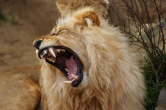 angola lion arkivbilder