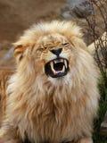 Angola lion. Panthera leo bleyenbergi, Zoo Ústí nad Labem, Czech Republic stock images