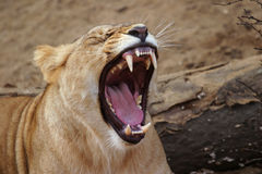 Angola lion, lioness Stock Image
