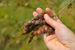 Angola Pea in hand Royalty Free Stock Photo