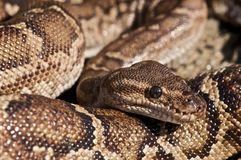Angola python Stock Photography