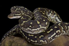 Angola python, Python anchietae. The Angola python, Python anchietae, is a rarely seen python species found in Angola and the extreme north of Namibia Stock Image