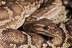 Angola-Pythonschlange stockfotografie