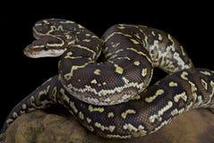 Angola-Pythonschlange, Pythonschlange anchietae stockbild