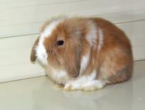 Angola zwierzęcia domowego długi uszaty królik Zdjęcie Royalty Free