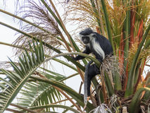 Angolan black and white colobus sitting on a branch Royalty Free Stock Photo