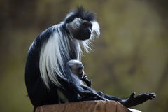 Angolan colobus (Colobus angolensis). Royalty Free Stock Photos