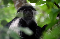 Angolan colobus, Diani, Kenya. A rare angolan colobus monkey in the small forest of Diani, south of Mombasa Stock Photos