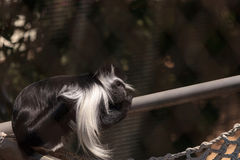 Angolan Colobus monkey of the genus Colobus angolensis palliatus. Sits in on a tree branch and eats Royalty Free Stock Images