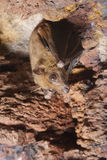 Angolan fruit bat in a cave. Angolan fruit bat (Lissonycteris angolensis) in a cave Royalty Free Stock Photos