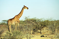 Angolan giraffe, Etosha National Park, Namibia. Angolan giraffe, a subspecies of the giraffa camelopardalis can be found in northern Namibia and Botswana, and Stock Image