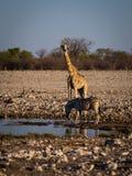 Angolan giraffe and mountain zebra. Royalty Free Stock Photography