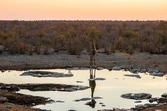 Angolan giraffe at sunset at waterhole Royalty Free Stock Photos
