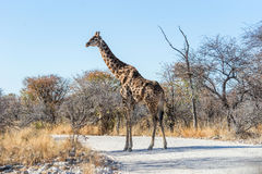 Angolan giraffe walking across the gravel road in Etosha national park. Angolan giraffe Giraffa camelopardalis walking across the gravel road in savannah of Royalty Free Stock Images