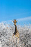 Angolan giraffe among white winter trees against blue sky. Stock Photos