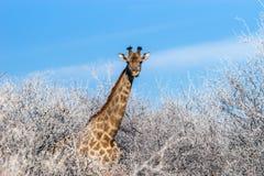 Angolan giraffe among winter trees Stock Photography