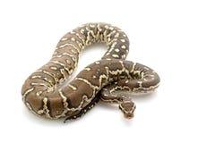 Angolan python Royalty Free Stock Photos