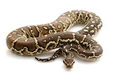 Angolan python. (Python anchietae) isolated on white background Stock Images