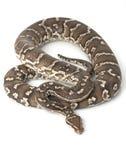Angolan Python Royalty Free Stock Image