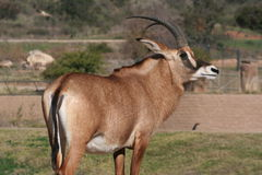 Angolan roan antelope (Hippotragus equinus cottoni Stock Photo