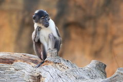 Angolan talapoin. The angolan talapoin sitting on the wood Royalty Free Stock Images
