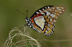 Angolan White Lady Butterfly Royalty Free Stock Photography