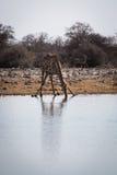 Angolanische Giraffe, die unten knit, um zu trinken Stockfotos