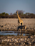Angolanische Giraffe und Bergzebra Lizenzfreie Stockfotografie