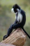 Angolansk colobus (Colobusangolensisen) Royaltyfria Foton