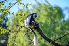 Angolensis del Colobus del mono de Colobus Fotos de archivo
