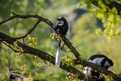 Angolensis del Colobus del mono de Colobus Imagen de archivo