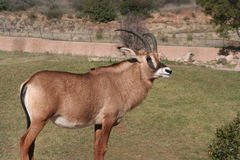 Angolese roan antilope (Hippotragus equinuscottoni Royalty-vrije Stock Afbeelding