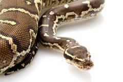 Angolische Pythonschlange stockfotos