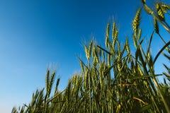 Angolo basso del campo verde del raccolto del grano Fotografia Stock
