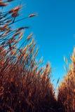 Angolo basso del giacimento di grano maturo Fotografie Stock Libere da Diritti