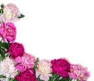 Angolo delle peonie isolate su un fondo bianco Priorità bassa di disegno floreale?, contesto, disegno dell'illustrazione Fiori ro Immagine Stock